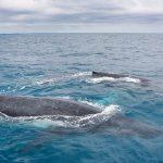 Balenes a Herver Bay